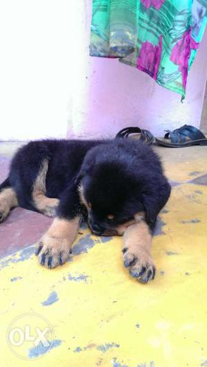 43 days rottweiler male puppy, vaccination and