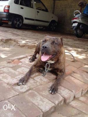 American pitbull 2year old full show quality