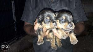 Certified rottweiler puppies for sale in kerala kollam