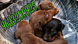 Dober man pure puppy in good quality in kollam