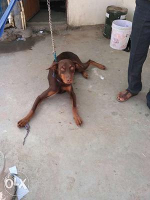 Doberman male dog ready for matting