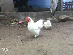 Fancy hens for sale American silky egg laying