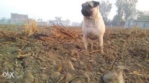 Fawn Pug In Jalandhar