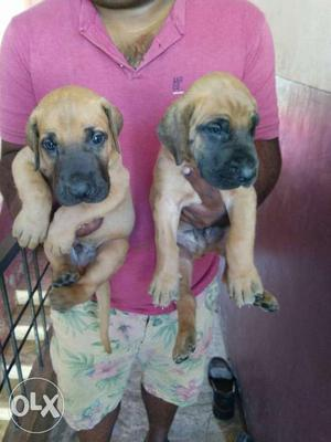 Fawn great dane pup availble both male and female