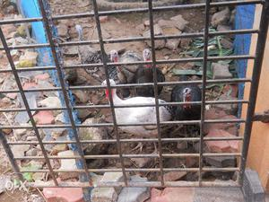 Turkeys for sale karimnagar   Posot Class