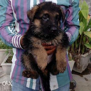 German NewYear shepherd Offer pappy for sell (in Jaipur PEts