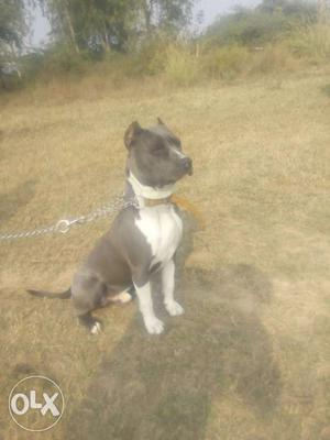 Gray And White American Staffordshire Terrier