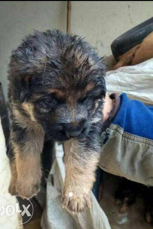 Healthy quality german male puppy good and