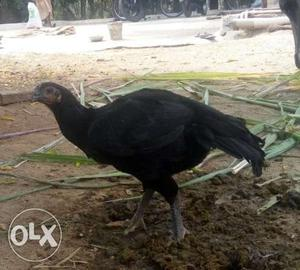 Hens for sale.. kathikal vedai Price ranges from
