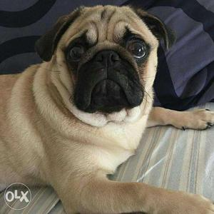 I want to buy a pug in low price just msg me and