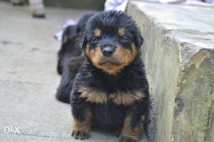 Kci certified 45days rottweiler pups at attingal