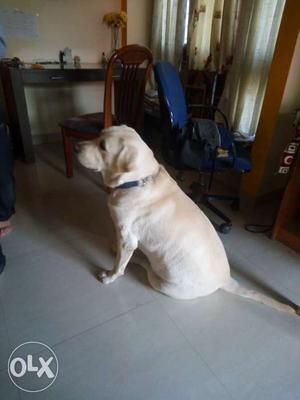 Male Labrador retriever ready for breeding. It is 2yrs