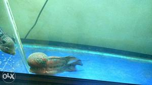 Monster kok flowerhorn available for sale at Rs
