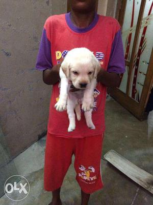 Off white NewYear color Offer labrador puppies jaipur PEts
