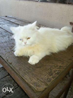 Persian cat very active and healthy
