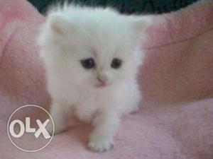 Persian kittens available in Mumbai