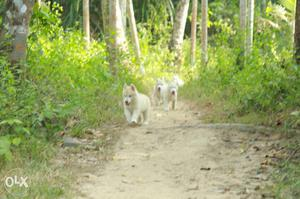 Show quality Siberianhusky puppy for sale