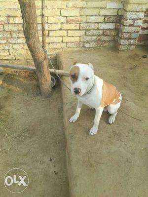 White And Brown American Staffordshire Terrier