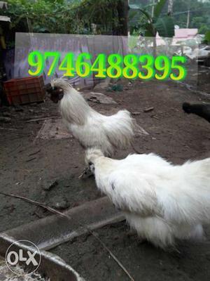 White Hen In Kulathummal