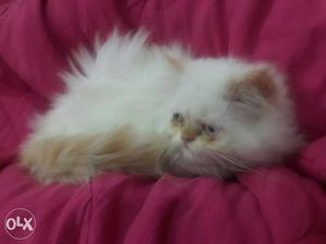 White female persian colour pointer kitten. 4