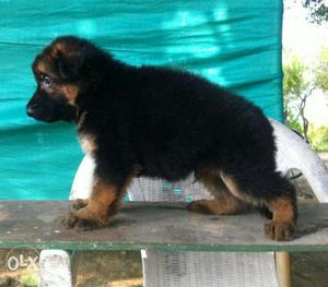 All breed puppies available in vadodara,elloraprk