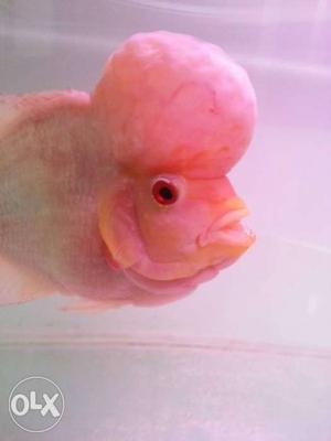 Beautiful flower horn fish. big head verry