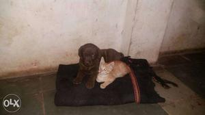 Chocolate Labrador Retriever Puppy And Orange Tabby Cat