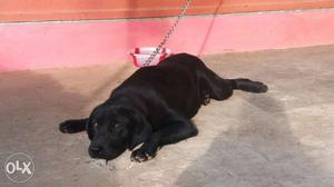 I have male labrador. Need female labrador for