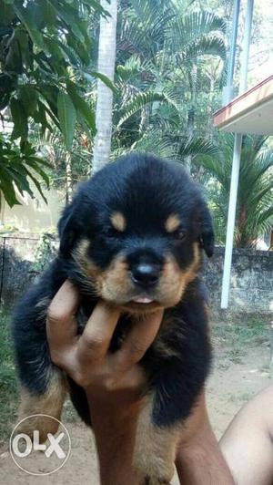 Kci reg.35 days old Rottweiler puppies