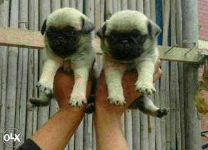 Original smallest breed (pug puppies and all types of dogs