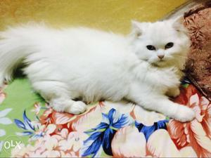 Persian white female kitten blue + golden eyes