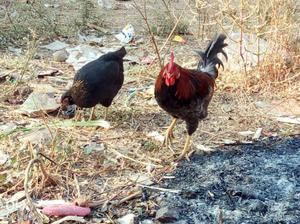 Only pure pure kadaknath chicken and chicks | Posot Class