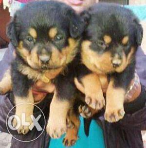 Rich breeds of Rottweiler Puppies for sales