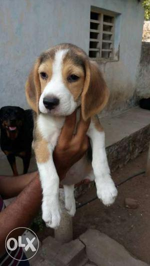 Show quality beagle female puppie good lineage