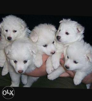Spitz puppy (pomemlium) available 2 male 2