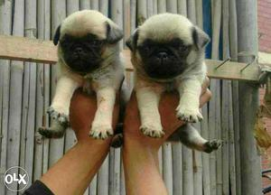 Too much decent-*(Pug puppies and all types of dogs puppies