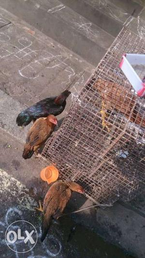Village hen & female. Male hen available