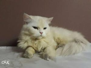 White female cat 1.5years old price little bit negotiable