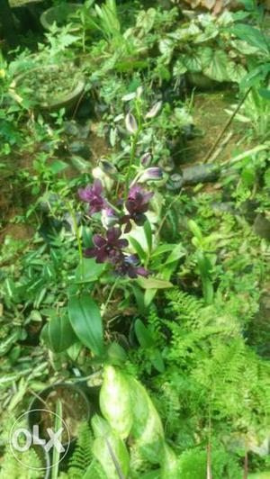 Dendrobium orchid plant purple