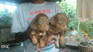 2 Chocolate Dachshund Puppies