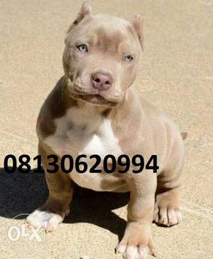 Active kennel in PitBull Male puppy, Good Quality Puppy,in