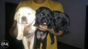 All dog breeds available..call us now for more details...