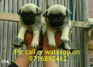 Best of Best ** Pug puppies and all types of dogs