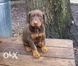 European linage Doberman female puppy available