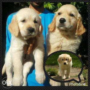Excellent quality Golden retriever puppies male
