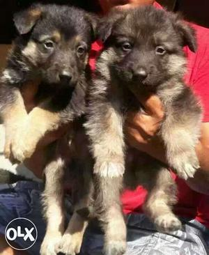 GERMAN SHEPHERD all over india delivery male