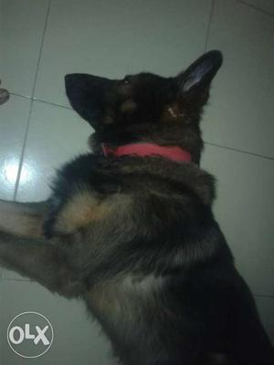 Gsd male ready for mating.nt selling