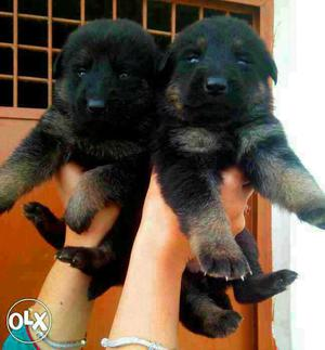 Healthy among healthiest (german sheprhd pupies and all