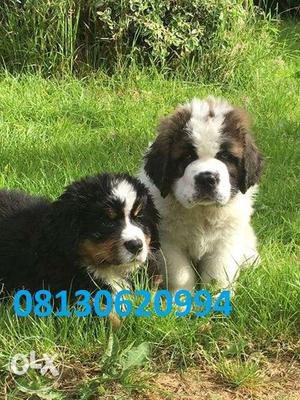 Healthy best line Saint bernard puppy very for sell in