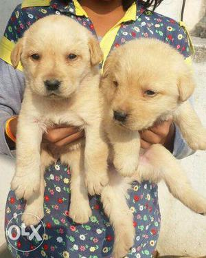 Labrador fawn colour puppies available all breeds